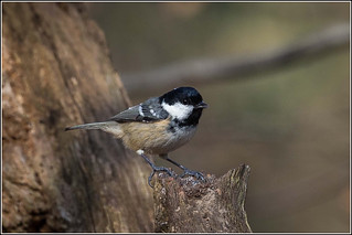 Coal Tit | by Smudge 9000