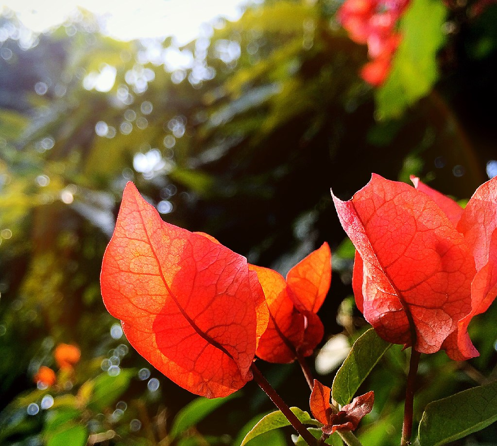 Pretty Red Flowers Anshul Sharma Flickr