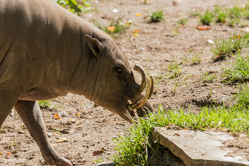 Babirusa | by Vaughan Weather