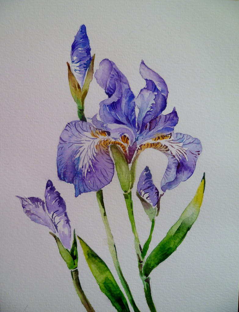 Iris flower watercolour pradeepa rupathilake flickr iris flower watercolour by pradeepa rupathilake iris flower watercolour by pradeepa rupathilake izmirmasajfo