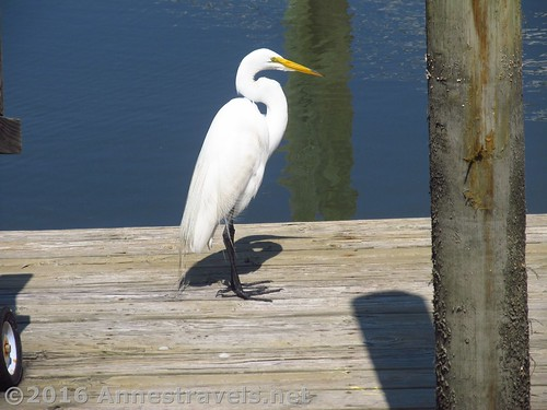 An egret on our deck down by the canal, Holden Beach, North Carolina