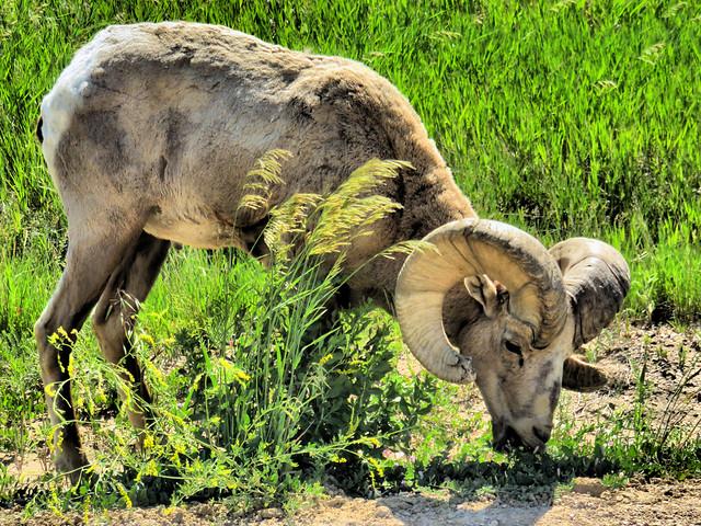 Bighorn ram HDR 20160618
