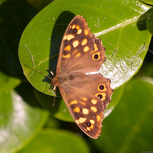 P1060115 Speckled Wood Butterfly Porthcressa Isles of Scilly Cornwall 10-09-2013 | by rodtuk