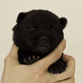 Ayui-Litter4-Day20-Puppy5-Male-a | by brada1878
