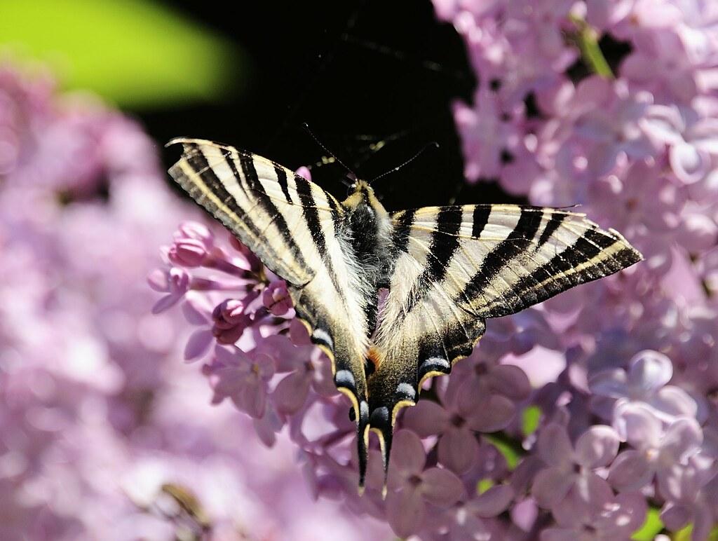 El Olor De Las Lilas Embelesa A Las Bonitas Mariposas Flickr