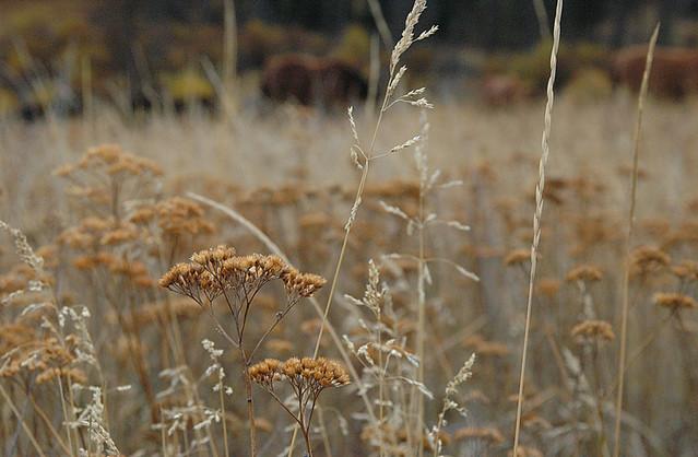 fall grasses in the hills above Merritt
