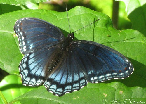 Limenitis arthemis (Red-spotted Purple)