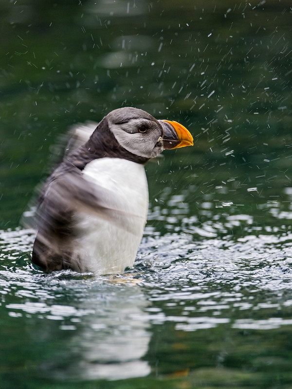 Puffin in action II