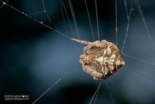 Orb web spider (Eriovixia laglaizei) - ESC_0016