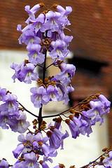 Palisanderholzbaum  Palisanderholzbaum (Jacaranda mimosifolia) Blüte | Christian Kobel ...