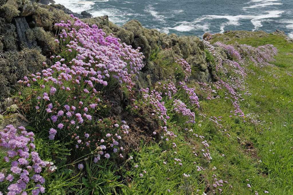 Sea pinks or thrift at trevail nr zennor cornwall flickr sea pinks or thrift at trevail nr zennor cornwall by saffron100uk mightylinksfo