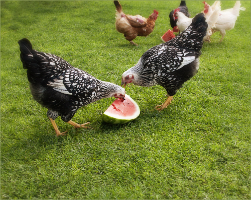 chickens w watermelon | by ☆shreve