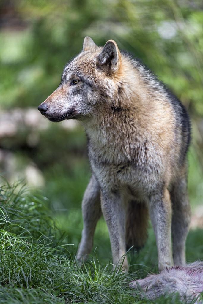 Wolf besides the prey