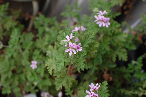 ローズ・ゼラニウム Pelargonium graveolens