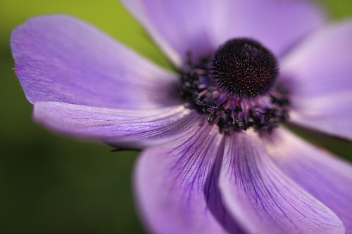 curves of purple poppy anemone kronen anemone anemone c flickr. Black Bedroom Furniture Sets. Home Design Ideas