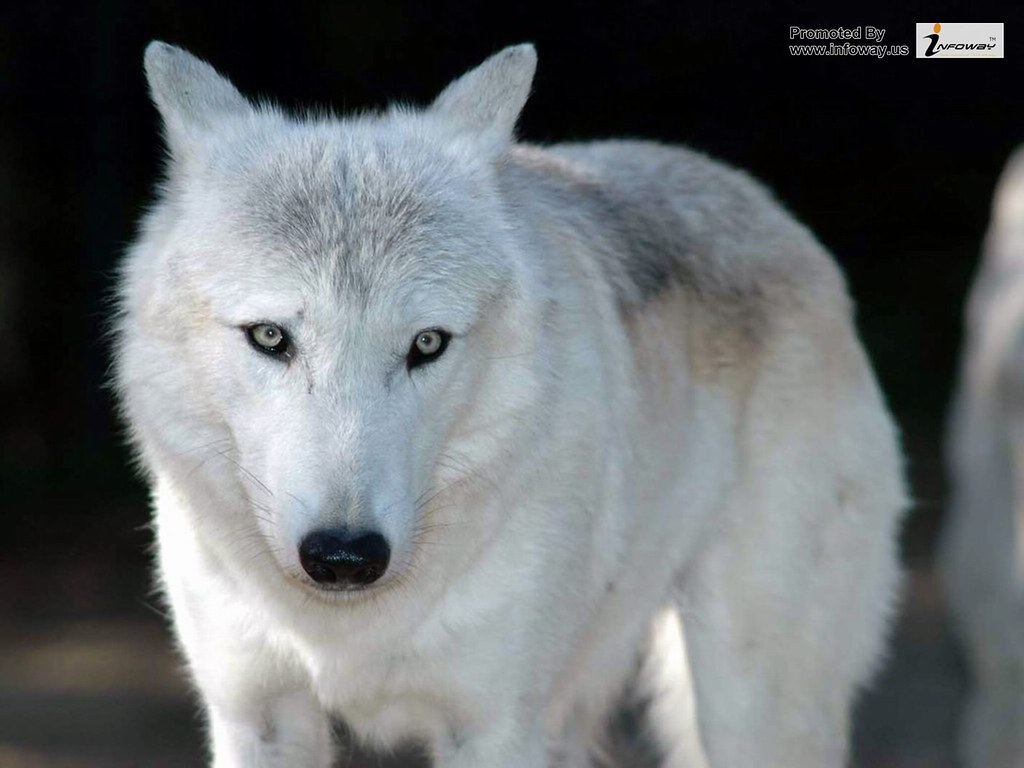 White Wolf Wallpaper Hd Wallpapers