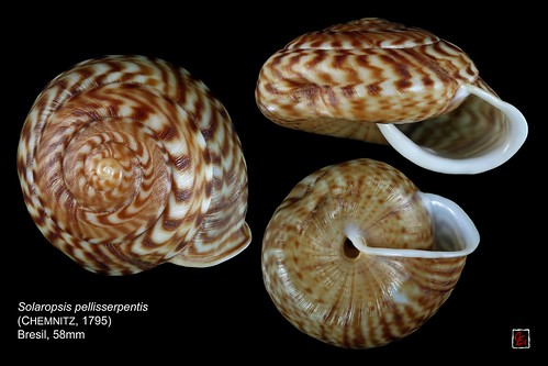 solaropsis pellisserpentis bresil 58mm | by MALACOLLECTION Landshells Freshwater Gastropods