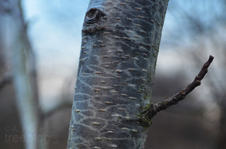 281213-grey-alder-2-stem-closeup | by treeblog