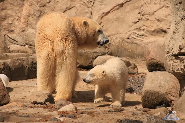 Eisbär Lili im Zoo am Meer 15.05.2016  285