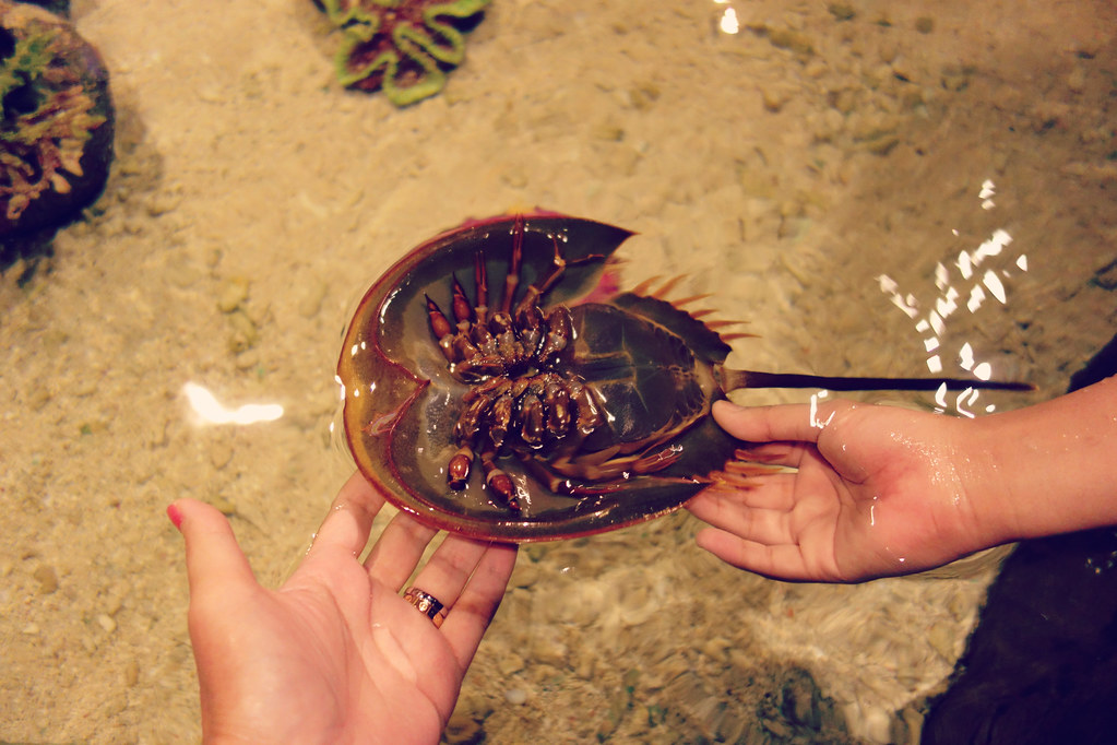 Horse Shoe Crabit Resembles A Giant Version Of My Triop Pets That I Had