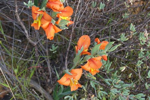 Gladiolus pulcherrimus