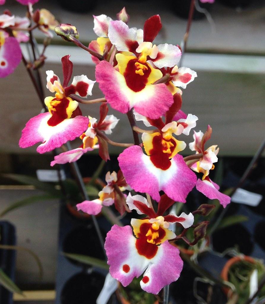 Tolumnia Genting Pink Lady Z 19520 Flower 1 Inch Plant Flickr