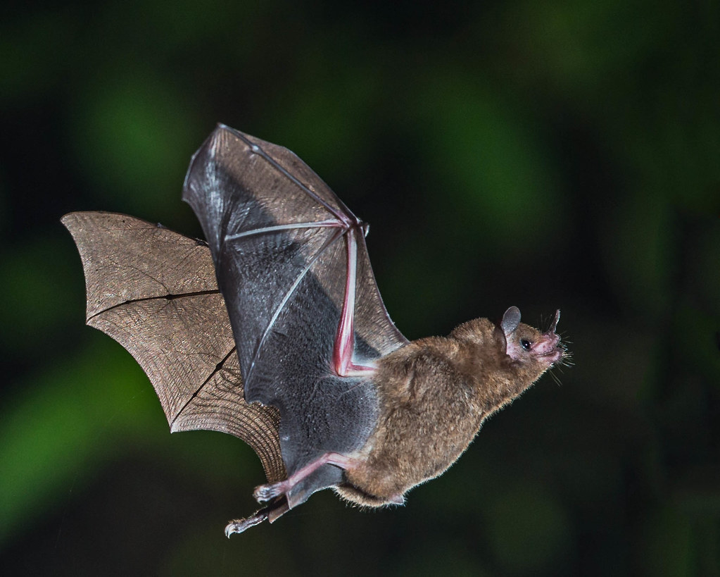 short tailed fruit bat when evening arrived in costa rica u2026 flickr