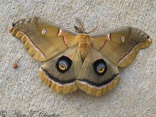 Antheraea polyphemus (Polyphemus Moth)