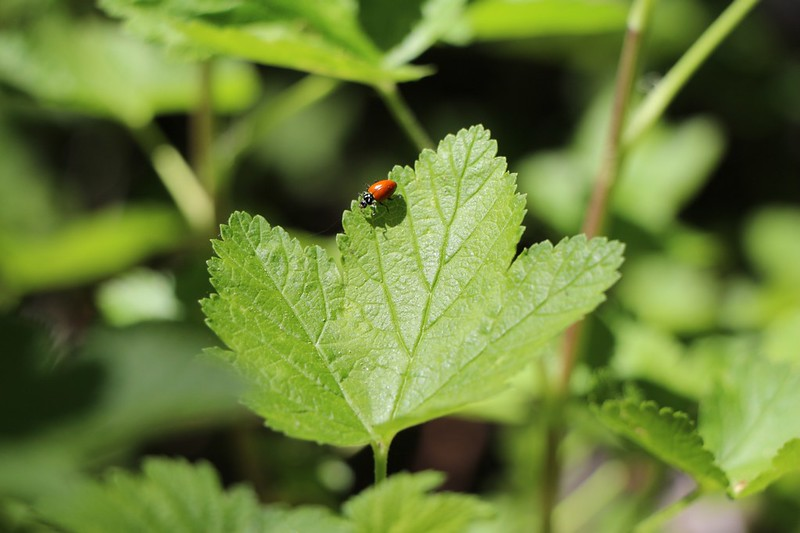 Ladybug on a Gooseberry leaf at the Alger Creek Camp