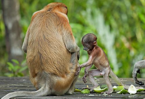 Proboscis monkey (Nasalis larvatus)   02.01.2014. Labuk ...