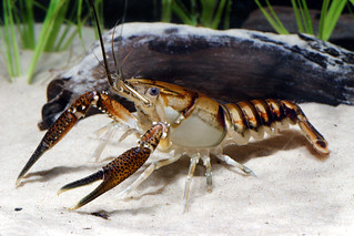 Lagniappe Crayfish | by USFWS/Southeast