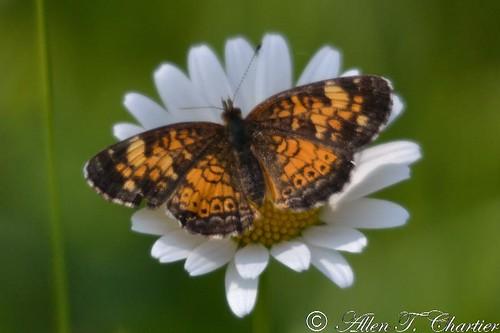 Phyciodes selenis (Northern Crescent)