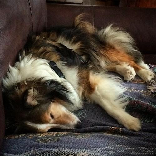 post bully stick slumber maggie sheltie melfr99 flickr. Black Bedroom Furniture Sets. Home Design Ideas