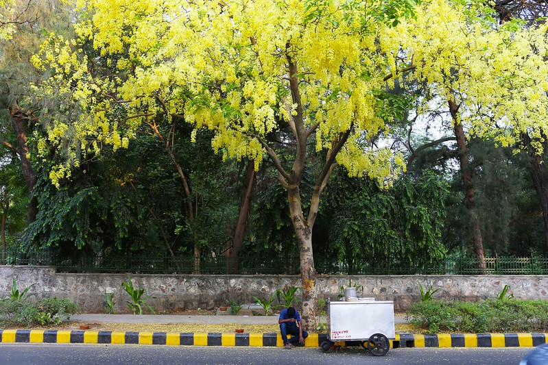 An Amaltas A Day Keeps The Heat Away