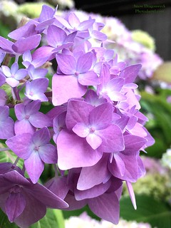 20160523-Purple Hydrangea