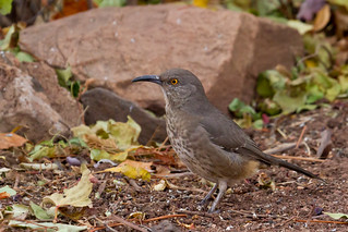 Curve-billed Thrasher (Toxostoma curvirostre) | by KAlderman65