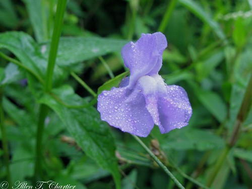 Mimulus ringens (Allegheney Monkey-Flower)