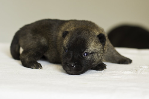 Nami-Litter1-Day10-Puppy2-Male-4 | by brada1878