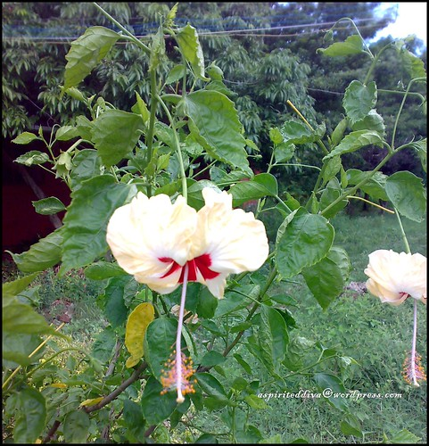 Beautiful Hibiscus clicked by Me! | by spirited.diva