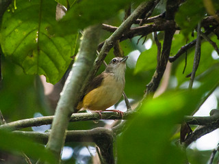 Horsfield's Babbler | by Mike Prince