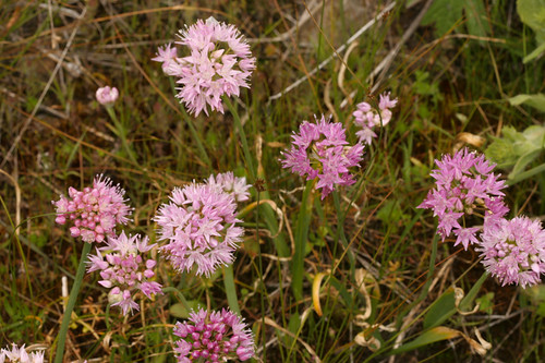 Douglas's onion - Allium Douglasii
