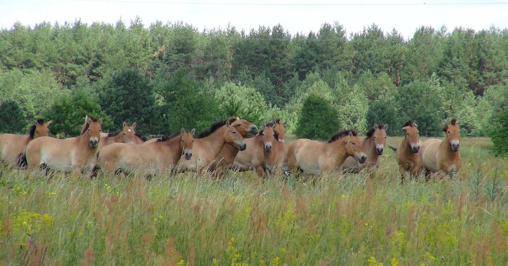 Chernobyl wild zone: Przewalski's horses