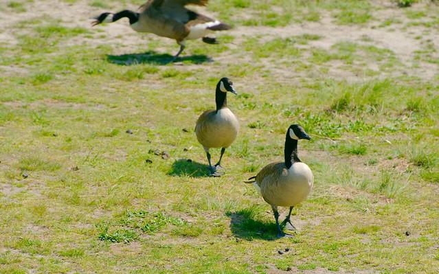 Canada Goose_3