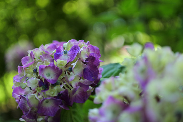 Hydrangea 紫陽花 アジサイ