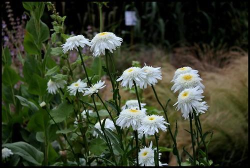 Leucanthemum x superbum double (3)