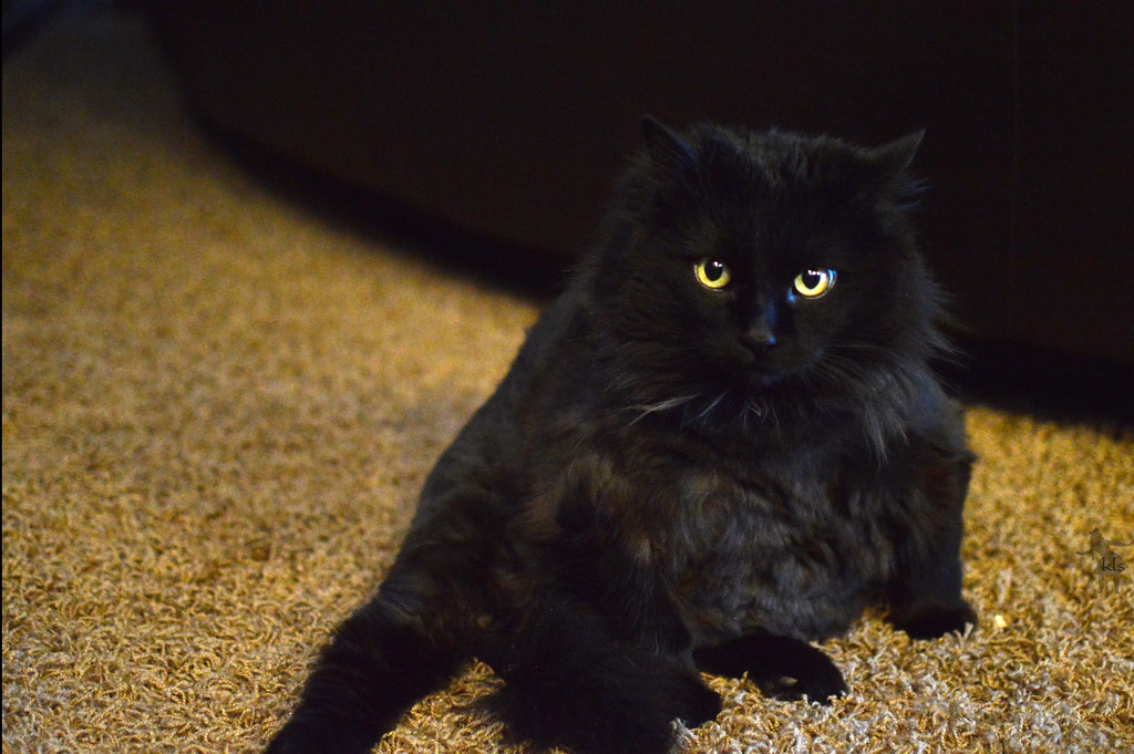 Cute Fat Black Cat 123 123 365 She S A Really Old Gal Flickr