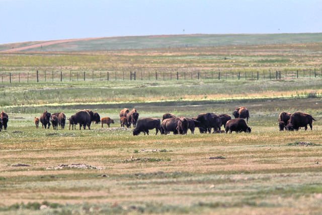 Bison herd HDR 20160618