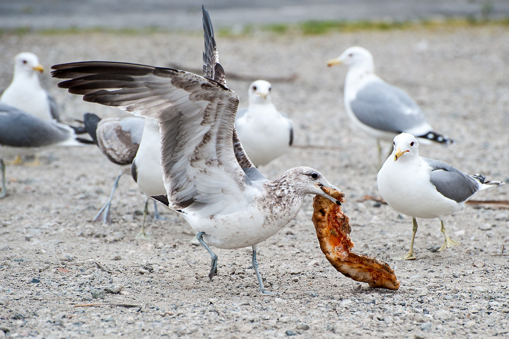 Image result for seagull pizza