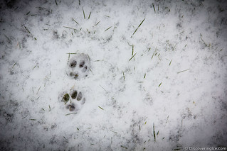 cat paw prints in the snow | by Stephanie Walsh Photography