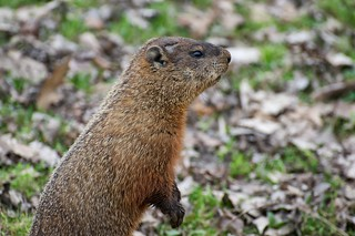 Groundhog | by phrawr